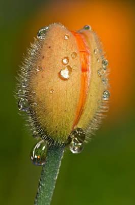 Poppy Drops Poster