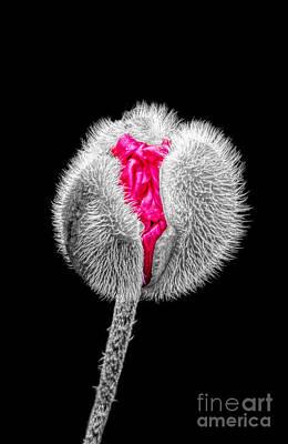 Poppy Emerging Poster by Lynn Bolt