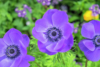 Poppy-flowered Anemone, Usa Poster