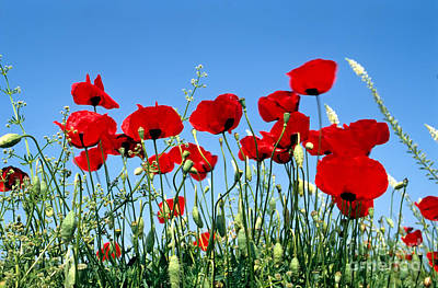 Poster featuring the photograph Poppy Flowers by George Atsametakis
