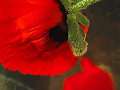 Poppy Oriental Red Poster by Don Spenner