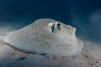 Porcupine Ray Feeding On Seabed Poster