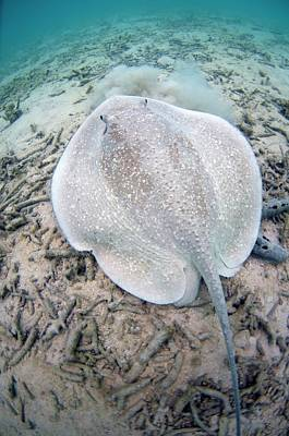 Porcupine Ray On Coral Rubble Poster