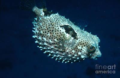 Porcupinefish Deflating Poster
