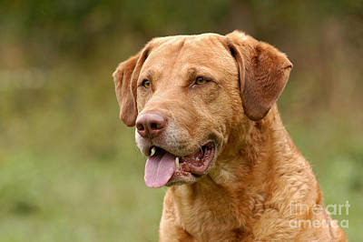 Portrait Chesapeake Bay Retriever Dog Poster by Dog Photos