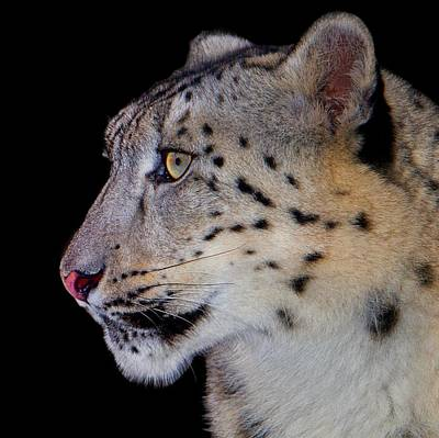 Portrait II Of A Snow Leopard Poster by John Absher