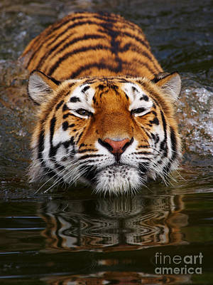 Portrait Of A Bathing Siberian Tiger Poster by Nick  Biemans