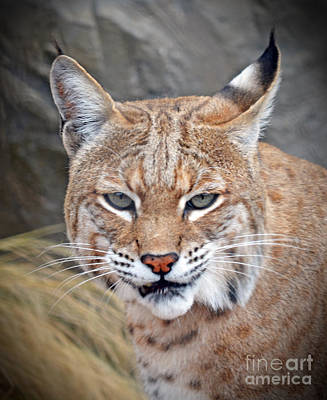 Portrait Of A Bobcat Poster by Jim Fitzpatrick