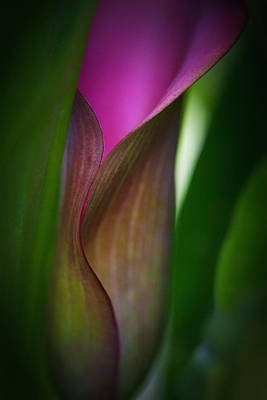 Poster featuring the photograph Portrait Of A Calla Lily by Zoe Ferrie