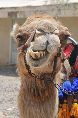 Portrait Of A Camel Poster