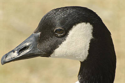 Portrait Of A Canadian Goose  Poster by Saija  Lehtonen
