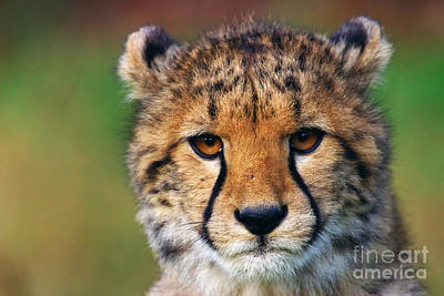 Poster featuring the photograph Portrait Of A Cheetah Cub by Nick  Biemans