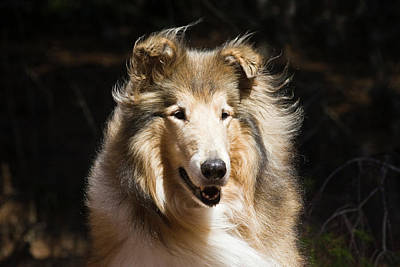 Portrait Of A Collie With Dark Poster by Zandria Muench Beraldo