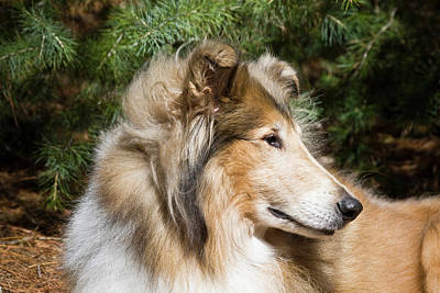 Portrait Of A Collie Poster by Zandria Muench Beraldo