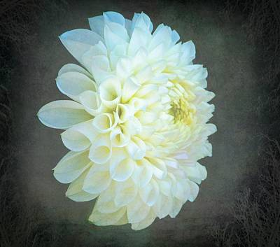 Portrait Of A Dahlia Poster