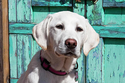 Portrait Of A Goldendoodle Puppy Poster