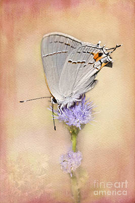 Portrait Of A Gray Hairstreak Poster by Betty LaRue