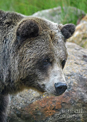 Portrait Of A Grizzly Bear Poster by Jim Fitzpatrick