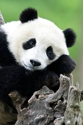 Portrait Of A Juvenile Giant Panda Poster by Tony Camacho