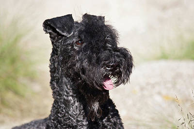 Portrait Of A Kerry Blue Terrier Poster by Zandria Muench Beraldo
