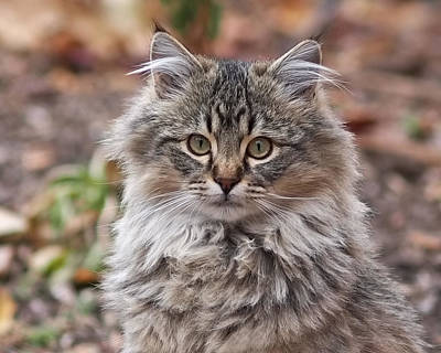 Portrait Of A Maine Coon Kitten Poster by Rona Black