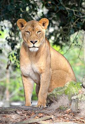 Portrait Of A Proud Lioness Poster