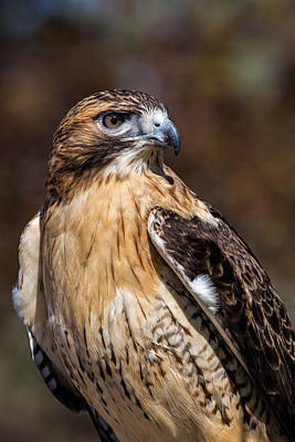Portrait Of A Red Tailed Hawk Poster by Dale Kincaid