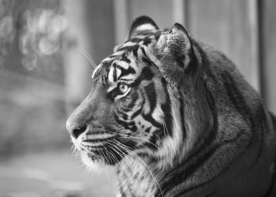 Portrait Of A Sumatran Tiger Poster by Gary Neiss