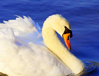Portrait Of A Swan Poster
