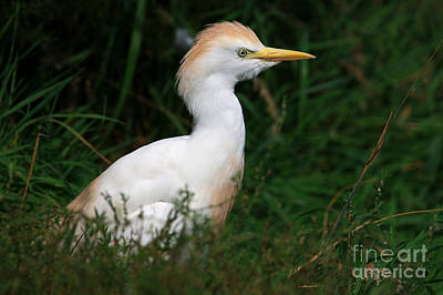 Portrait Of A White Egret Poster by Nick  Biemans
