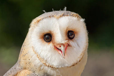 Portrait Of A Young Barn Owl Poster by Roeselien Raimond