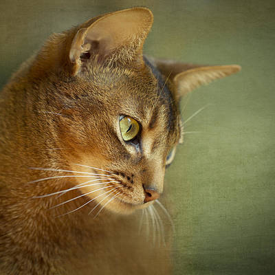 Portrait Of An Abyssinian Cat With Textures Poster by Wolf Shadow  Photography