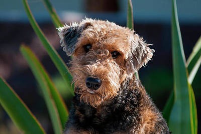 Portrait Of An Airedale Terrier Poster