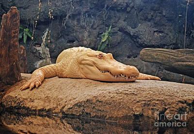 Portrait Of An Albino Alligator Poster