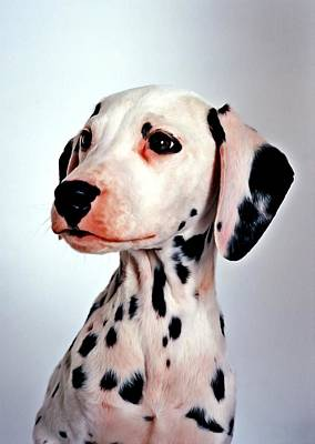 Portrait Of Dalmatian Dog Poster by Lanjee Chee
