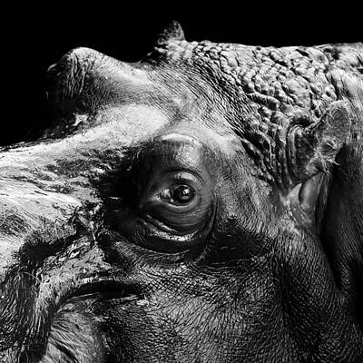 Portrait Of Hippo In Black And White Poster