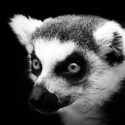 Portrait Of Lemur In Black And White Poster