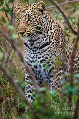 Portrait Of Leopard Male Paja In Masai Mara Poster by Maggy Meyer