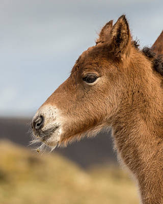 Portrait Of Newborn Foal Poster by Panoramic Images