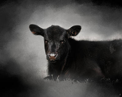 Portrait Of The Black Angus Calf Poster by Jai Johnson