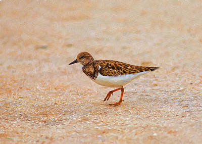Portrait Of The Ruddy Turnstone Poster by John M Bailey
