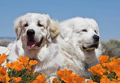 Portrait Of Two Great Pyrenees Lying Poster by Zandria Muench Beraldo
