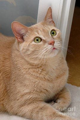 Portrait Orange Tabby Cat Poster