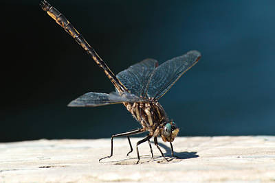 Posing Dragonfly Poster