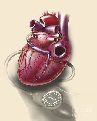 Posterior View Of Human Heart On Photo Poster by TriFocal Communications