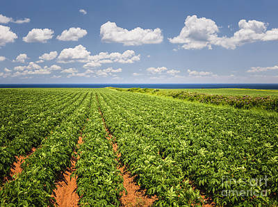 Potato Field In Prince Edward Island Poster by Elena Elisseeva