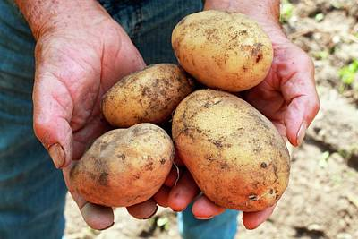 Potatoes Poster by Mauro Fermariello