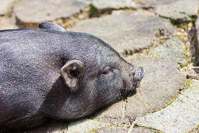 Potbelly Pig Poster by Pati Photography