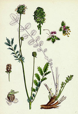 Poterium Muricatum Muricated Salad Burnet Poster