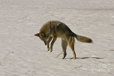 Poster featuring the photograph Pouncing Coyote by Mitch Shindelbower